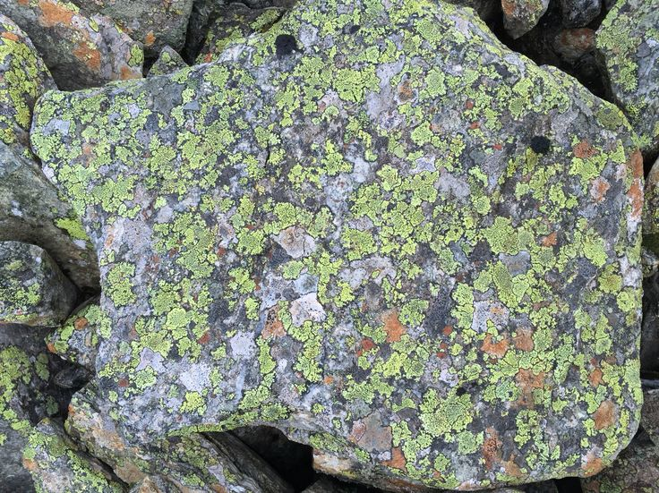 Stone grey lichen