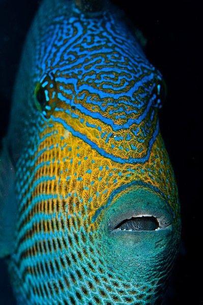 Black Durgon Triggerfish ;): Big Fish, Sea Life, Sea Creatures, Triggerfish Melichthi, Beautiful Fish, Trigger Fish, Aquatic Life, Durgon Triggerfish Lov, Underwater Favorite