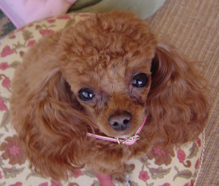 Adult teacup poodles for sale