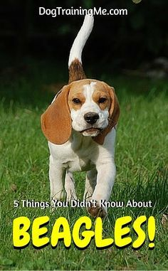 Beagle breed info you've never heard before. Beagles are all over Hollywood, and it's more than Snoopy! Find out about other famous beagles, and learn 4 other cool facts in this article!