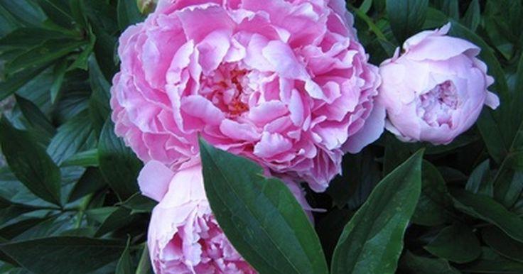 El significado de la flor peonía