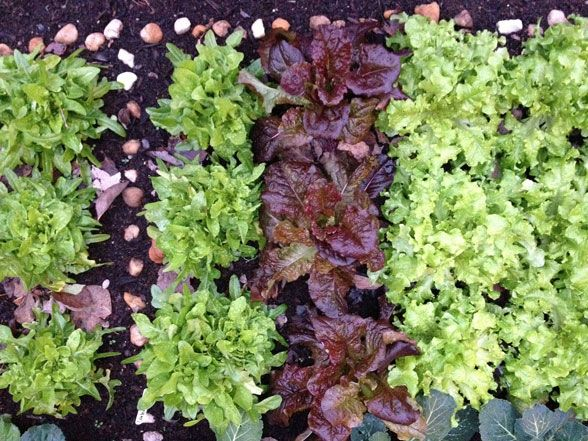 Tips for a thriving vegetable garden, even in cold weather: http://blog.hgtvgardens.com/winter-greens-mad-love-for-cool-season-gardening/