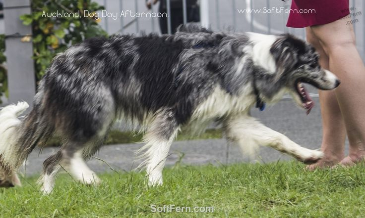 Auckland, Dog Day Afternoon. ... 19  PHOTOS        ... People brought their pets and enjoyed the tunes, street food and a park full of good dogs and their human friends.        More details:         http://softfern.com/NewsDtls.aspx?id=1123&catgry=7            SoftFern News, Auckland, photos of dogs, SoftFern photos, photos by SoftFern, Sergiy Bondar, SoftFern Auckland News, New Zealand News, Auckland, Silo Park, dog portraits, photos of cute animals, photos of cute dogs, photos of Dog Day…