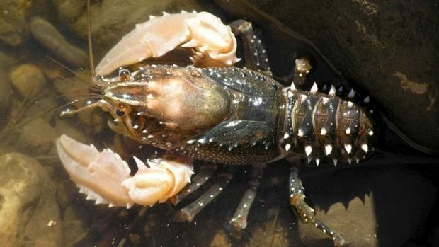 262 Best images about Crustaceans: Astacidea (Lobsters and Crayfish) on Pinterest | Cobalt blue ...