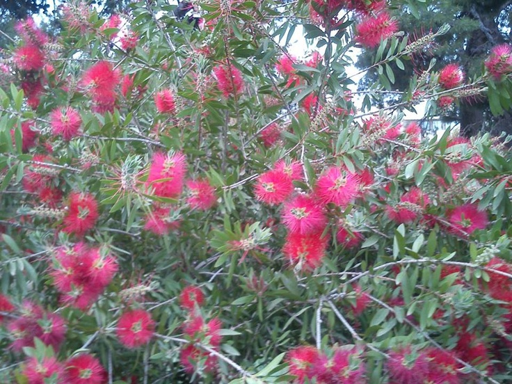 The flowers of the plant Callistemon in spring