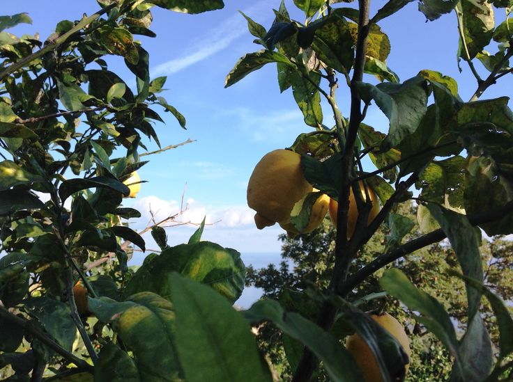 Limoni, cedri, mandarini... i buoni agrumi di Sicilia sono tutti a Santa Margherita!
