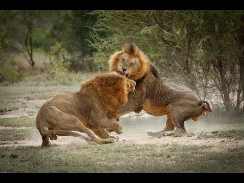 Leões de Okavango - Os Últimos Leões Selvagem da Terra - YouTube