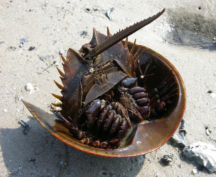 Horseshoe crab (Limulus polyphemus), Cedar Key, Florida