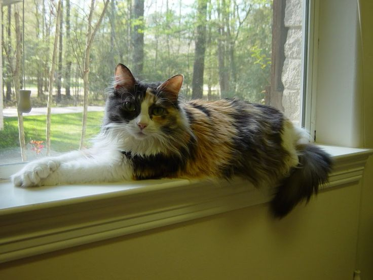 Calico Norwegian Forest cat--beautiful. | Awesome Animals ...