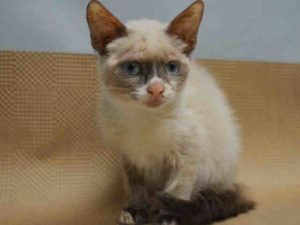 2 MONTHS OLD - SNOWSHOE MIX - OWNER DUMPED FOR PET HEALTH - KITTEN HAS SOME SKIN ISSUES - POSSIBLY RINGWORM, NEEDS VET EVAL - FOSTER NEEDED!