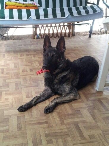 Pippo, dutch shepherd from Italy