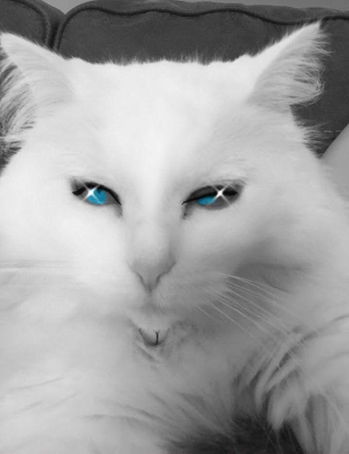 follow me on IG missbettywhite2009 #cat #lol #whitecat #betch #bitch #longhairdontcare #funny #humor #animals #pets #rescue #bettywhite #snapchat #blueeyes #eyelashes #sparkle #glow