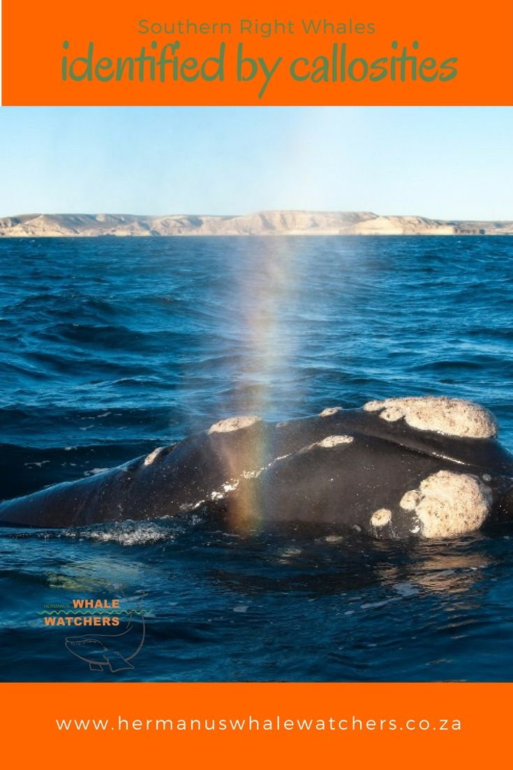 The callosities on the head of a southern right whale is its identification similar to our fingerprints.