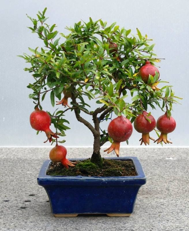 best 20 bonsai fruit tree ideas on pinterest