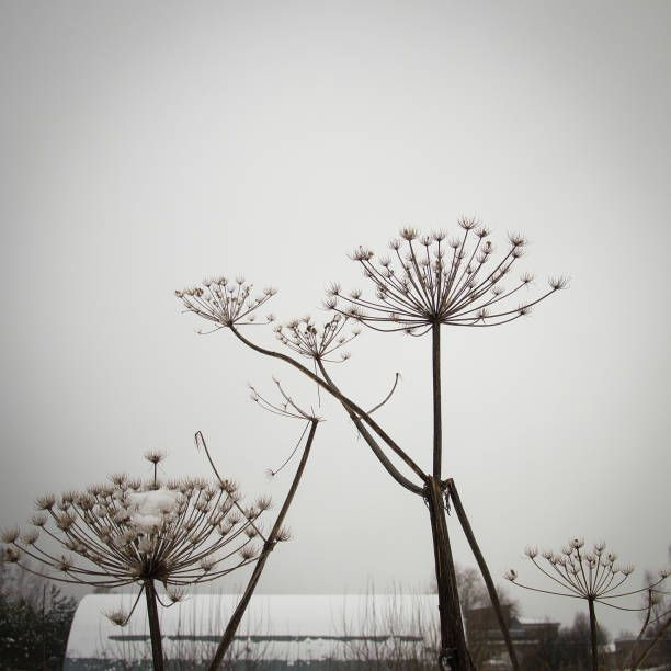 hogweed or cow parsnip stems and dry seed pods silhouettes on sky and