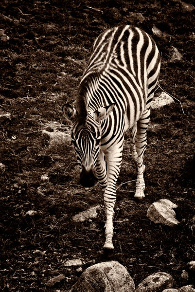 'Burchell's Zebra (Equus burchelli)' by studio-toffa on artflakes.com as poster or art print $18.03