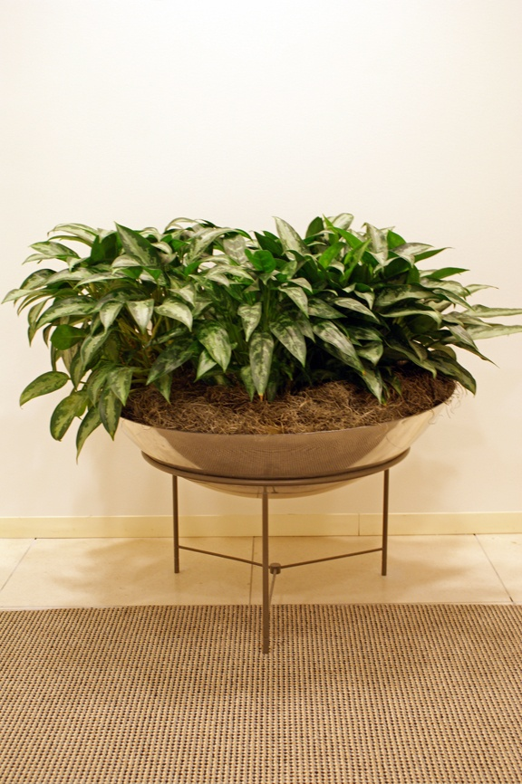Aglaonema Mary Ann This Is A Great Plant For Just About