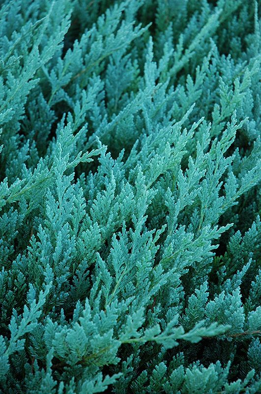 Click to view full-size photo of Blue Chip Juniper (Juniperus horizontalis 'Blue Chip') at Oakland Nurseries Inc