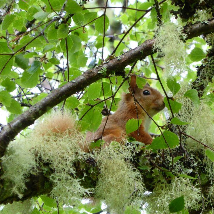 Red squirrel at Saddle Mountain Hostel