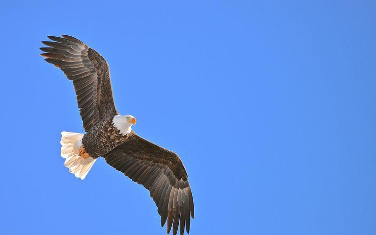 Скачать обои орел, орлан, белый, птица, клюв, глаз, раздел животные в разрешении 1680x1050
