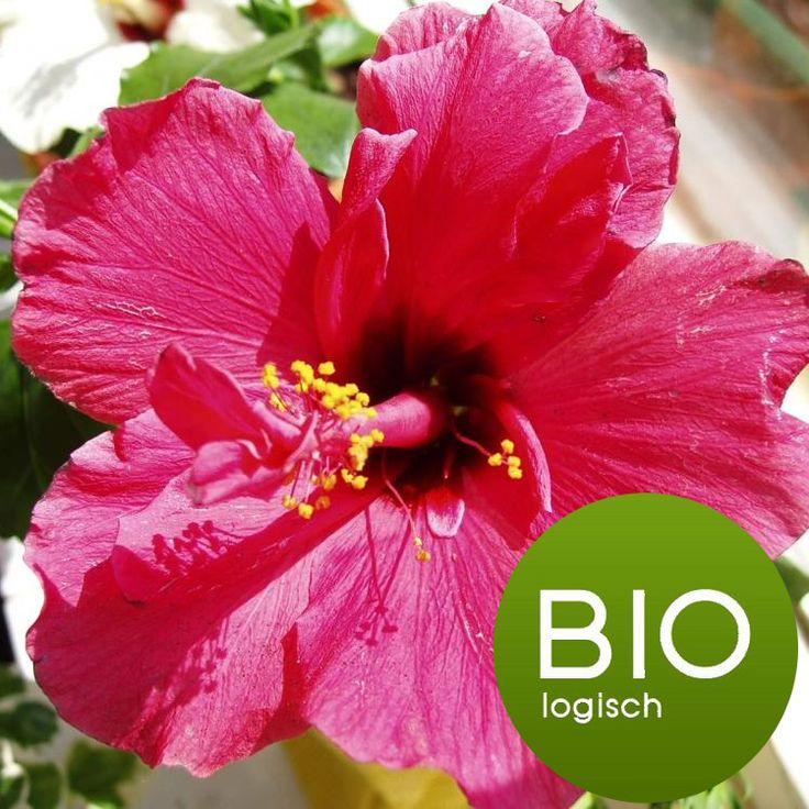 Hibiscusbloemen (Roselle) - BiologischNederlandse naam: HibiscusAndere namen: RoselleBotanische naam: Hibiscus sabdariffa L.Plantdeel: BloemLet op! Hibiscus thee werkt bloeddruk en cholesterol verlagend. Dit effect is al meetbaar als je dagelijks drie kopjes hibiscus thee drinkt. Wees hierop attent. Gebruik je bloeddruk en/of cholesterol verlagende medicijnen let dan op dat je waardes niet te laag worden. Overleg met je arts!Eigenschappen:
