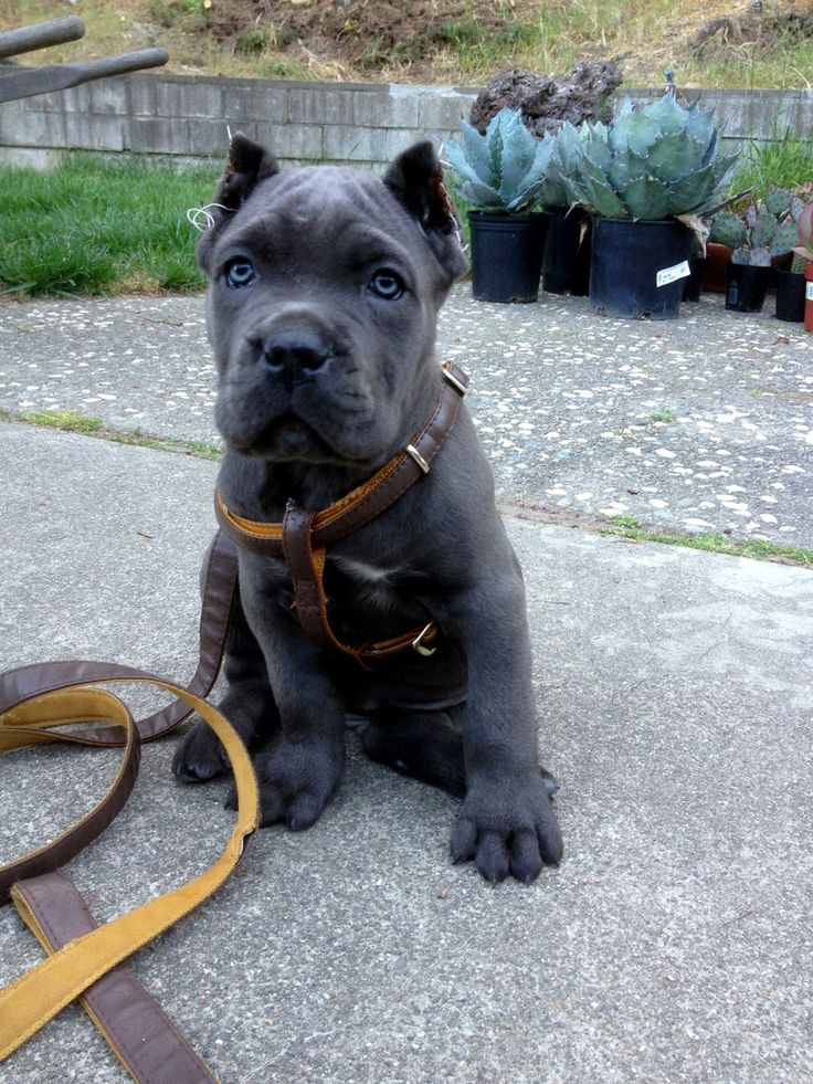 "Our new family addition...Cane Corso...""Loki"""