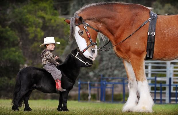 Two-year-old Colt Bullen rides his miniature horse Prancer and comes face-to-face with Hercules the Clydesdale horse, in Melbourne, Australia