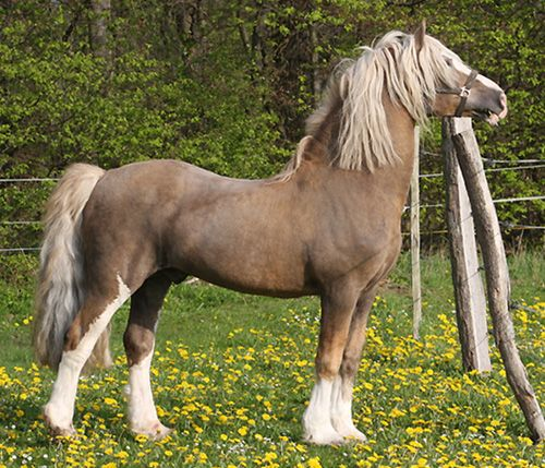 1157 Best Images About Welsh Pony/Cob/Mountain Pony On