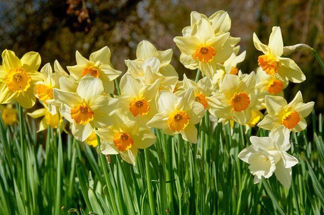 Секреты цветения. Что нужно знать о выращивании нарциссов