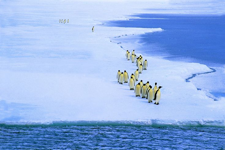The largest penguin species makes brutal migrations each year around Antarctica to breed and raise their chicks, according to environmental non-profit and activists group, the Center for Biological Diversity. They're the only penguin species to spend the winter on Antarctic ice.