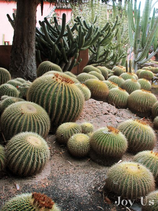 Barrel Cactus at Lotusland.  Extremely slow growing, a lesson in patience that truly rewards.