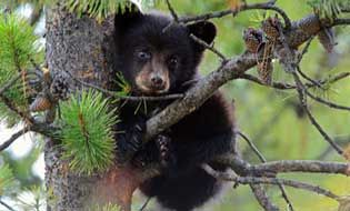 HELP END THE MASS KILLING OF WILDLIFE! A little-known government agency called Wildlife Services spends tens of millions of taxpayer dollars each year to kill more than 100,000 native carnivores, including wolves, bobcats, foxes and black bears. Call on the U.S. Department of Agriculture to follow through on its plan to investigate this rogue operation — and then end its deadly assault on wildlife.