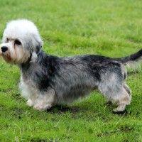 #dogalize Razas de Perros: Dandie Dinmont Terrier características #dogs #cats #pets