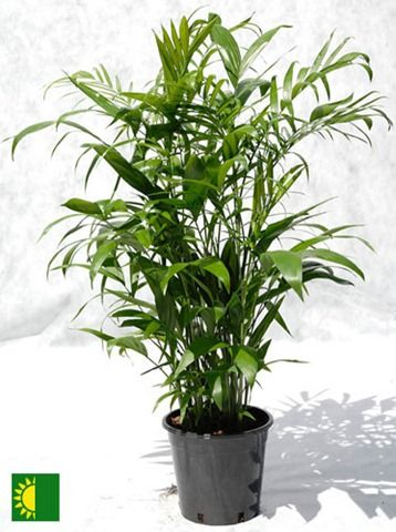 1000 ideas about bamboo palm on pinterest plants - Healthiest houseplants fresh air delight ...