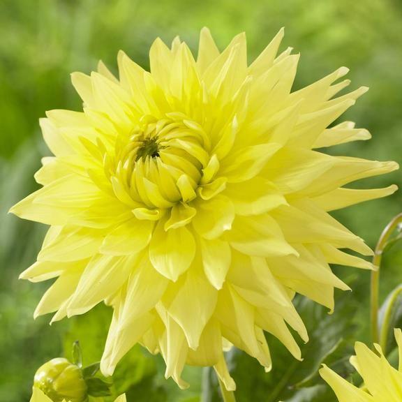 17 Best images about Dahlias on Pinterest | Gardens, Black ...