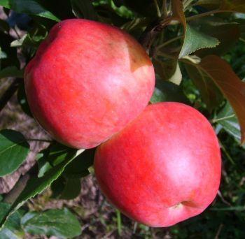 Ihr Obstbaum-Shop! Alte Obstsorten - Alte Apfelsorten - www.alte-obstsorten-online.de - Apfelbaum, Sommerapfel 'Amerikanischer Rosenapfel' - alte Apfelsorten!