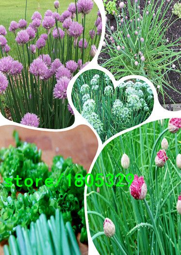 free shipping Chinese Chive Seeds , Allium tuberosum, leek seeds - 100 Seed particles