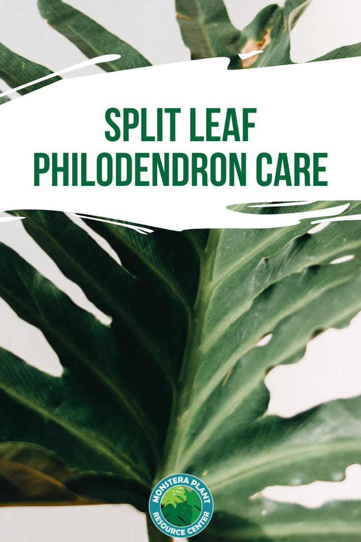 How to care for a split leaf philodendron if you are a