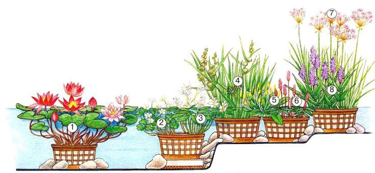 Какие растения выбрать для пруда. Садовые водные растения ...