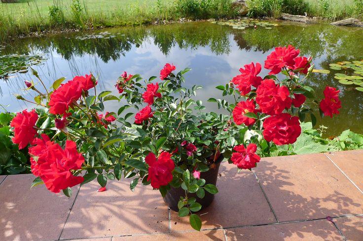 Růže polyantka, Kordes