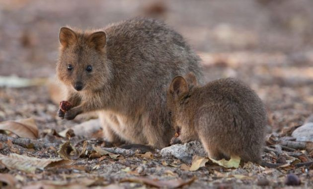 12 Fabulous Animals That Start With The Letter Q In 2020 Quokka