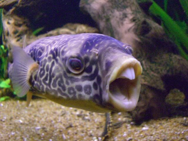 how to keep puffer fish
