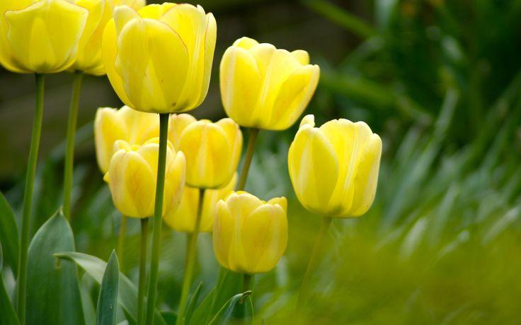 beautiful yellow tulips flowers pictures desktop
