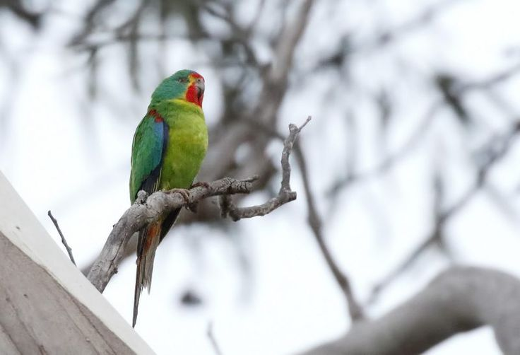 Swift Parrot (by Dave Curtis).