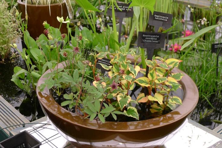 Little pond in a pot (taken at Chelsea Flower Show)