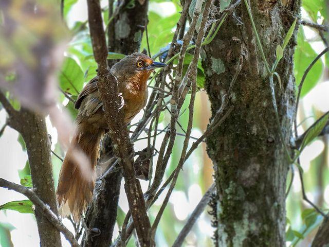 Foto joão-botina-da-mata (Phacellodomus erythrophthalmus) por Henrique Junior | Wiki Aves - A Enciclopédia das Aves do Brasil