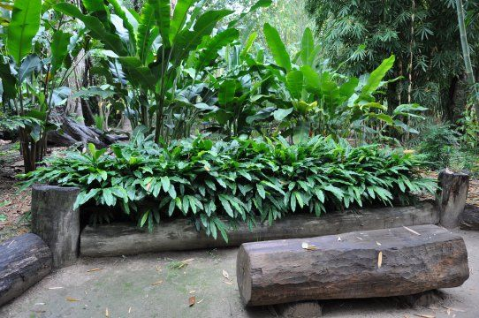 Gingers | Alpinia nutans from Bamboo Land Nursery (QLD Australia)