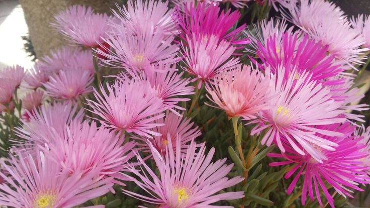 Lampranthus sp. - the colour in your yard