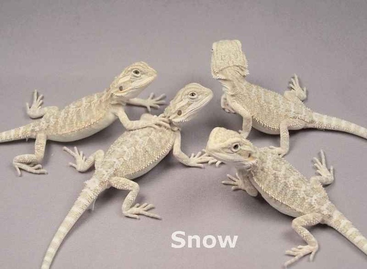 8 best Snow Bearded Dragons images on Pinterest | Bearded ...