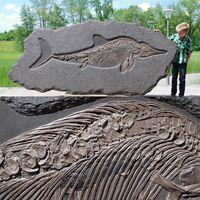 Ichthyosaur specimen (a marine reptile) was discovered in the famous Holzmaden (Jurassic Posidonia) Shale near Stuttgart, Germany.